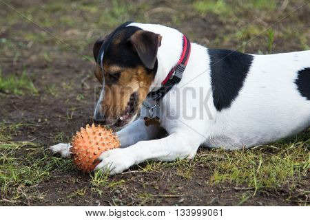 dog lays on the ground and gnaws a ball