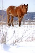 a large brown horse standing in the snow on a hillside. poster