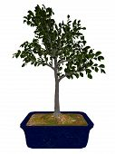 European beech, fagus sylvatica, tree bonsai isolated in white background - 3D render poster