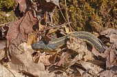 Garter Snake Hiding in the Leaves along the White Rocks Trail in Cumberland Gap National Park in Virginia poster