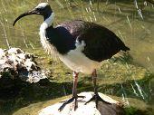 straw necked ibis poster