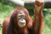 a female orangutan smiling or smirking with hand upraised. poster