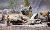 A sleepy hyena Family Hyaenidae is roused from its nap poster
