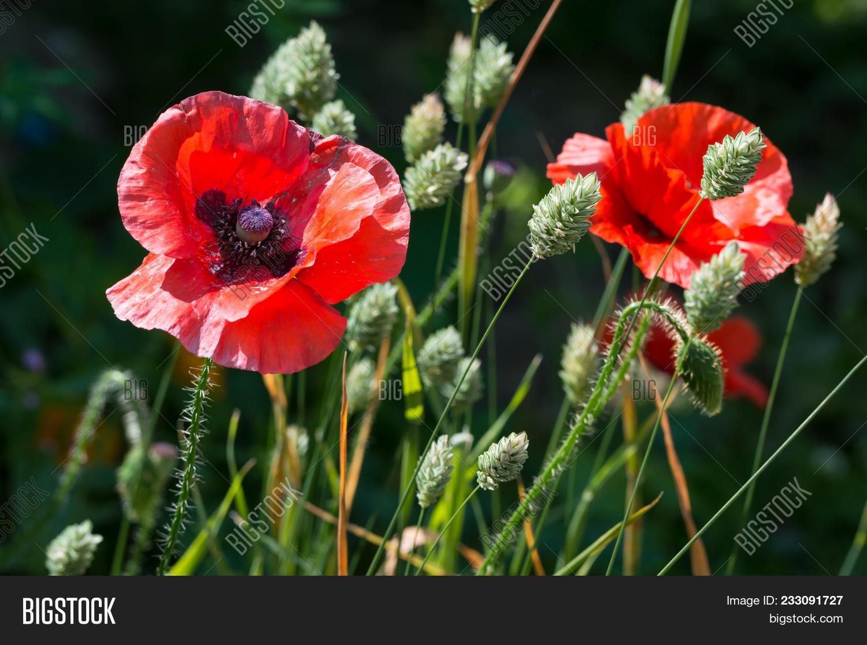 Red Poppy Flowers Image Photo Free Trial Bigstock