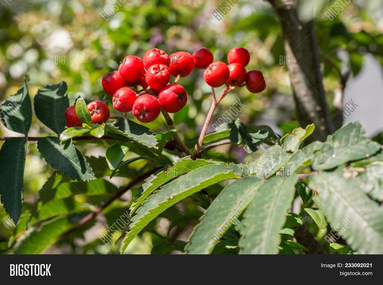 Rowan Tree Red Berries Image Photo Free Trial Bigstock