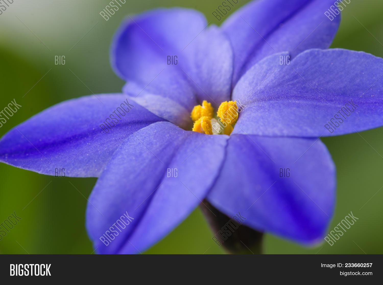 Spring Star Flower Image Photo Free Trial Bigstock