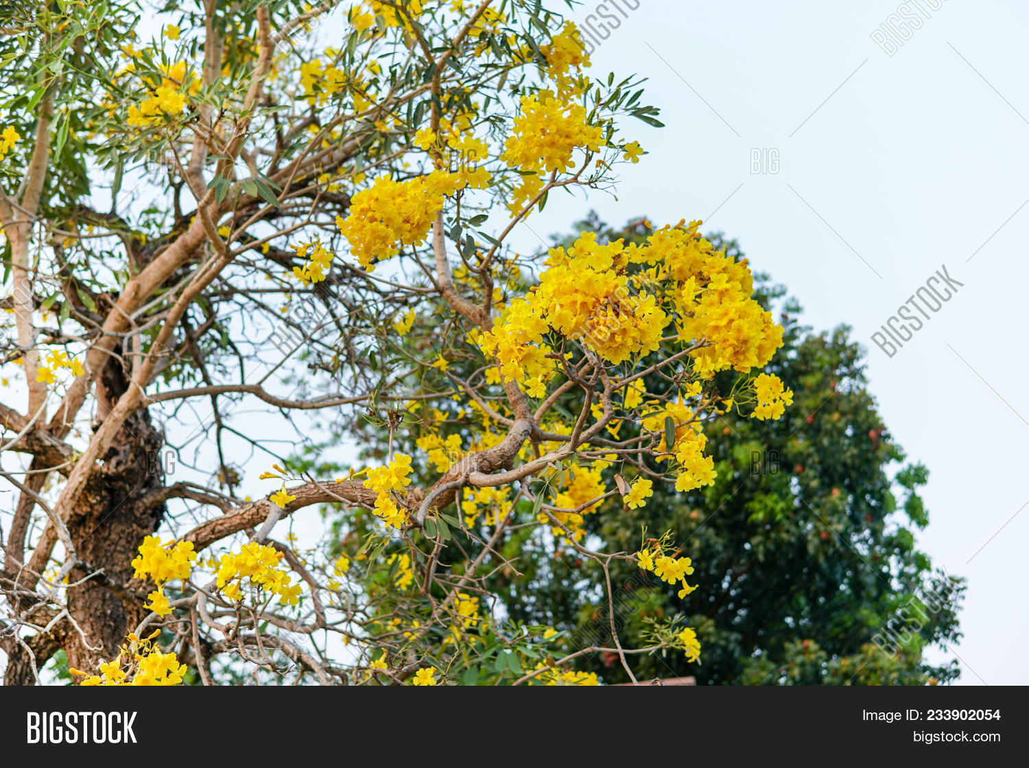 Yellow flowertabebuia image photo free trial bigstock the yellow flowertabebuia argentea britt or silver trumpet flower tree of gold or mightylinksfo