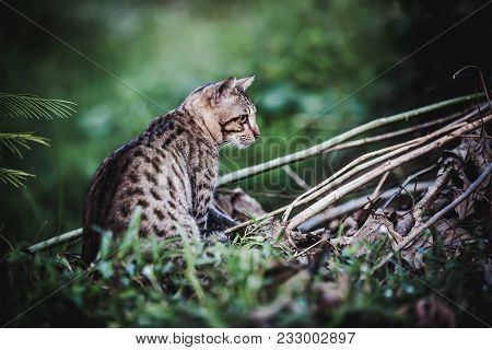 Pretty bengal cat look for food and gaze on something in forest. Outdoor at daytime with bright sunlight. Animal life on nature background. Dark tone. poster