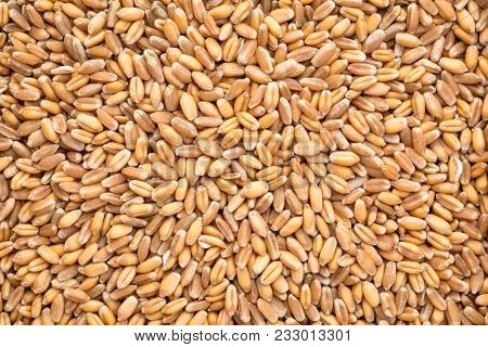 background of hard red winter wheat grain