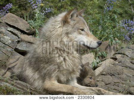 Wölfe, Mutter und Cub