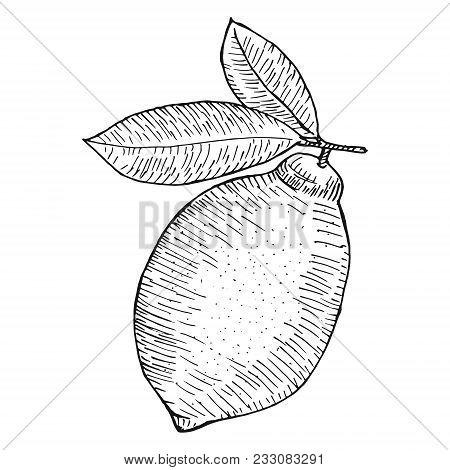 Hand Drawn Lemons With Branch, Lemon Blossom, Citrus Slices And Leaves. Citrus Organic Slice Illustr
