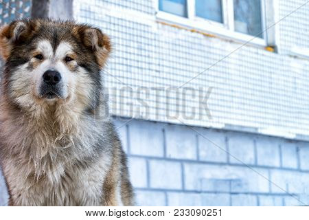 A Big Dog Mongrels Sits In Front Of The House And Looks Into The Camera