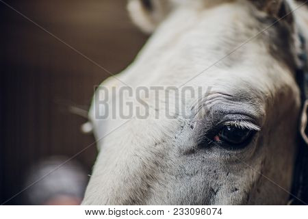 Tersky Horse. It Was Deduced In The Times Of World War Ii. Gray Suits The White Horse Looks Directly