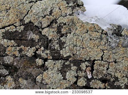Lichen Moss Growing On The Bark Of A Tree. Texture Of Tree Bark With Dry Moss. Close Up Of Brown Gra