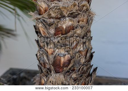 Tree Trunk chamaerops humilis also known as dwarf palm poster