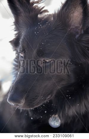 A Young Black Long Fur German Shepard Dog Running Around In A Sunny Winter Day Pet Happiness Canine