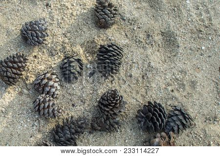 Pine Cones Open On Park Ground With Shadows