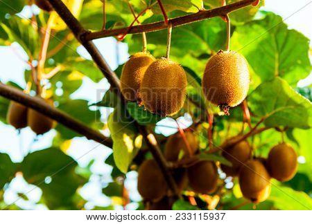 Juicy fruits of kiwi fruit. Kiwi on a branch in the garden.