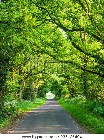Oak trees and bushes over a rural road forming a tunnel in Southern England