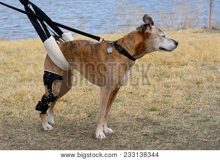 Aging Mixed Breed Boxer Dog With Orthotic Brace For Ccl Knee Injury And Newly Injured Second Knee Be