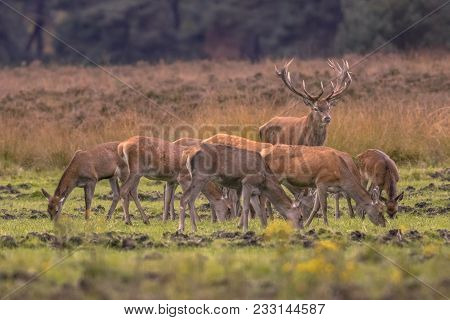 Buck Deer (cervus Elaphus) Guarding Herd Group Of Female Hind Animals During Mating Season At Sunset