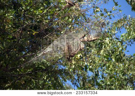 Large Spiderweb Nest High Up In A Tree In Summer Under A Blue Sky, Arachnid, Spider