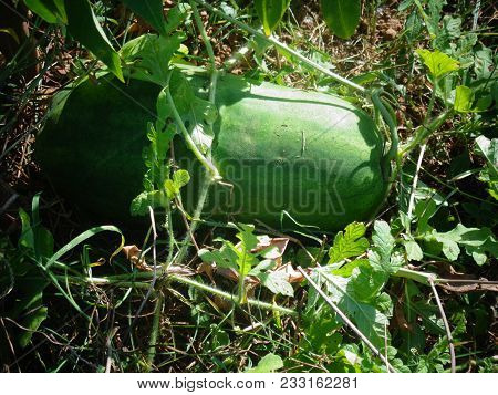 Watermelons In A Garden Ready To Be Picked