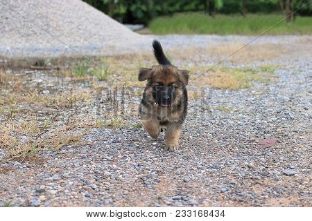 Happy Lovely Cutie German Shepherd Puppy Running At Outside Home.