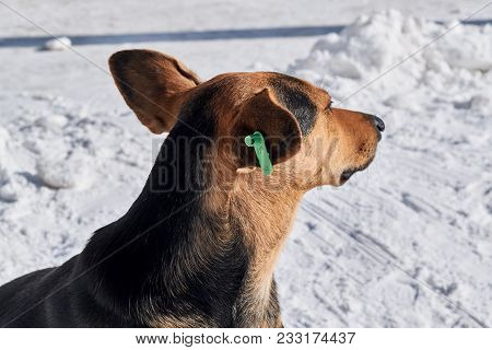 Stray Dog With A Special Tag Or Clip On His Ear. Green Clip With Symbols. The Dog Sits Calmly On The