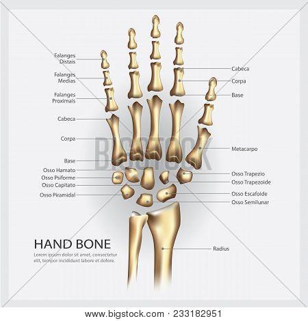 Hand Bone Anatomy With Detail Vector Illustration