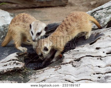 Meerkats Digging Hole Or Burrow Of Wooden Log To Find Some Food In A Zoo With Concept Of Curiosity,