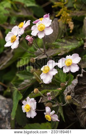 Japanese Anemone (anemone Hupehensis) Flower. Pink Garden Plant In The Family Ranunculaceae, Aka Chi