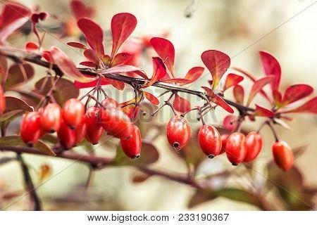 Barberry (berberis Vulgaris) Branch Fresh Ripe Berries Natural Green Background Berberis Thunbergii