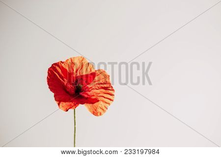 Red Poppy In Early Summer With Waterdrops. Close Up Of Red Poppy In Sunny Day On Stilistic Gray Back