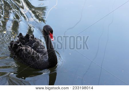 Black Swan (cygnus Atratus) Floating On Water On Ponds. One Beautiful Black Swan In Fog In The Natur