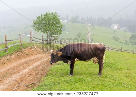 Cow Pasture At The Village Pasture In Rainy Weather. Animals