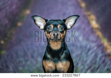 Portrait Of A Dog, Puppy On A Natural Background With Lavender Field, Puppy Looks At The Camera. Fri