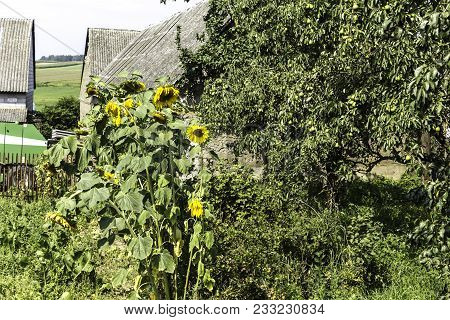 Vegetable Garden, Sunflowers, Fruit Trees, Agricultural Machines And Stone Barns Under Slate Roofs.