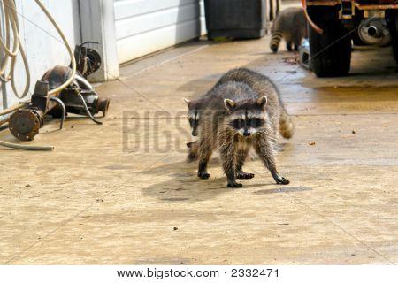 Wet Raccoons