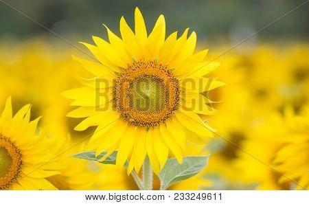 Closeup Beautiful Of A Sunflower Or Helianthus In Sunflower Field, Bright Yellow Sunflower Lopburi,