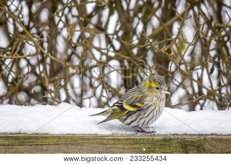 Eurasian Siskin Sitting In The Snow On A Wooden Fence In A Garden In The Winter
