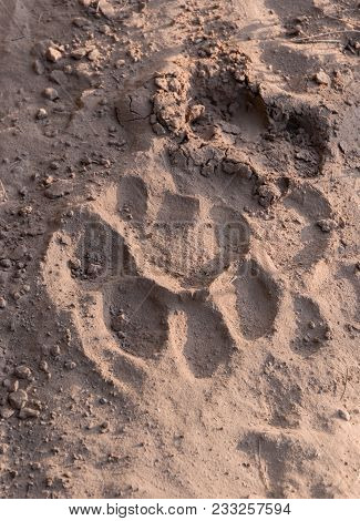Tiger Trail On The Sand In Rajaji Tiger National Park India