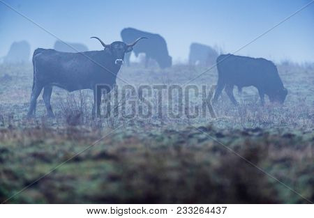 Saraguesa Cattle In A Misty Winter Moorland.
