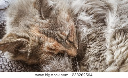 A Beautiful Tricolor Cat Sleeping On An Office Chair. Kitten Asleep On A Blanket. Feline Portrait.