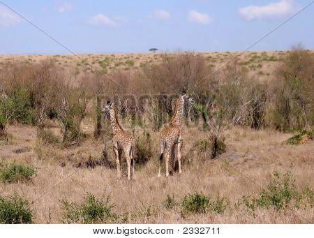Pair Of Giraffes On The Savannah