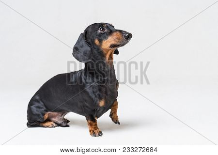 Dog Dachshund Breed, Black And Tan, Standing With His Paw Up And Looking Up, Isolated On Gray Backgr