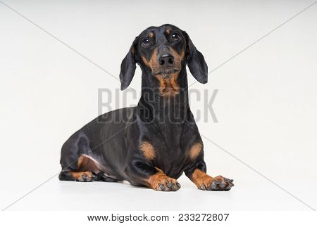 Portrait Dachshund Dog, Black And Tan,lying Down On The Floor, Isolated On A Gray Background