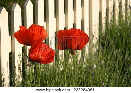 Orange Oriental Poppies (papaver Orientale) On A Fence Line