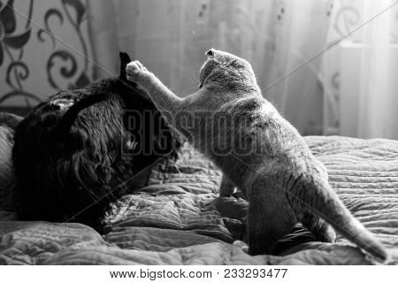 Scottish Fold Cat Playing With Dog Scotch Terrier