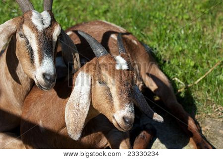 Two Brown Billy Goats